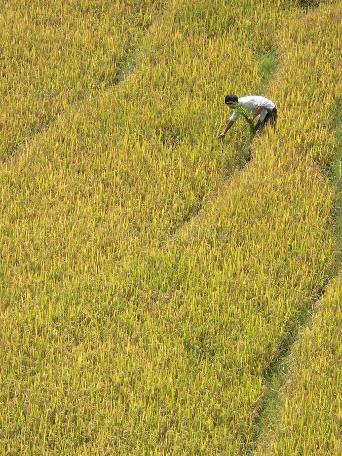 Moisson isolée de riz photos libres de droits
