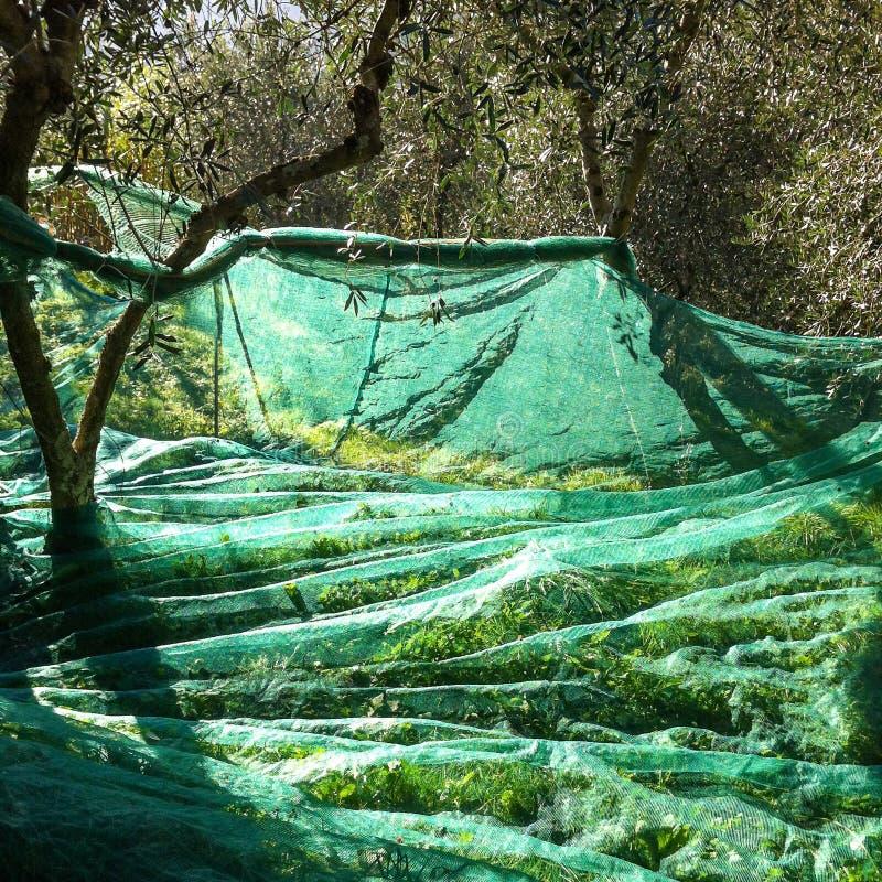 Moisson olive photo stock
