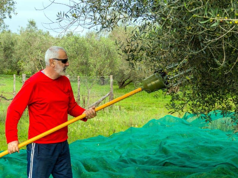 Moisson olive photos libres de droits