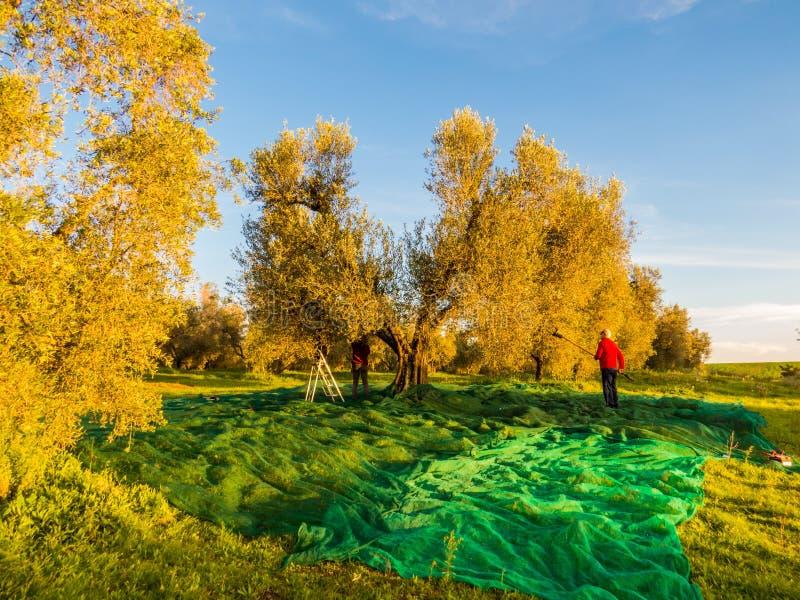 Moisson olive image stock