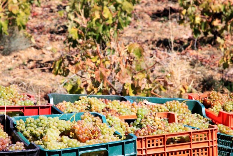 Moissonnant les raisins blancs s'approchent de Laujar en Andalousie image stock