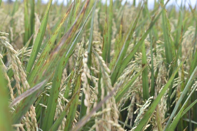moissonnez le blé photo stock