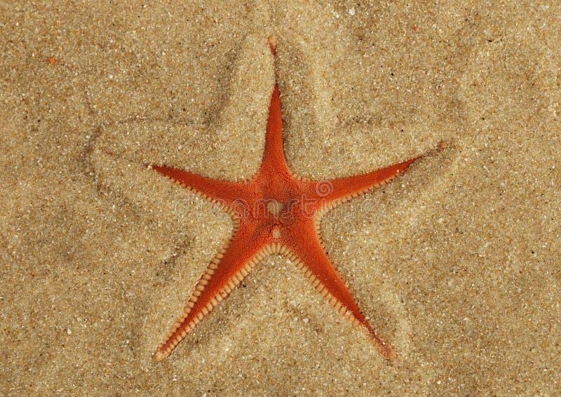 Moitié orange d'étoiles de mer de peigne enterrée dans le sable - PS d'Astropecten photo stock