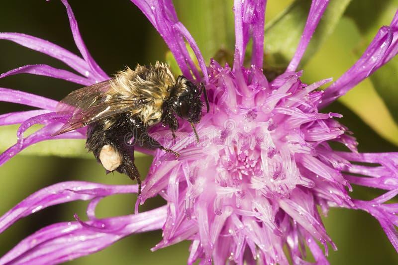 Mojado manosee la abeja con la cesta del polen que forrajea en New Hampshire imágenes de archivo libres de regalías