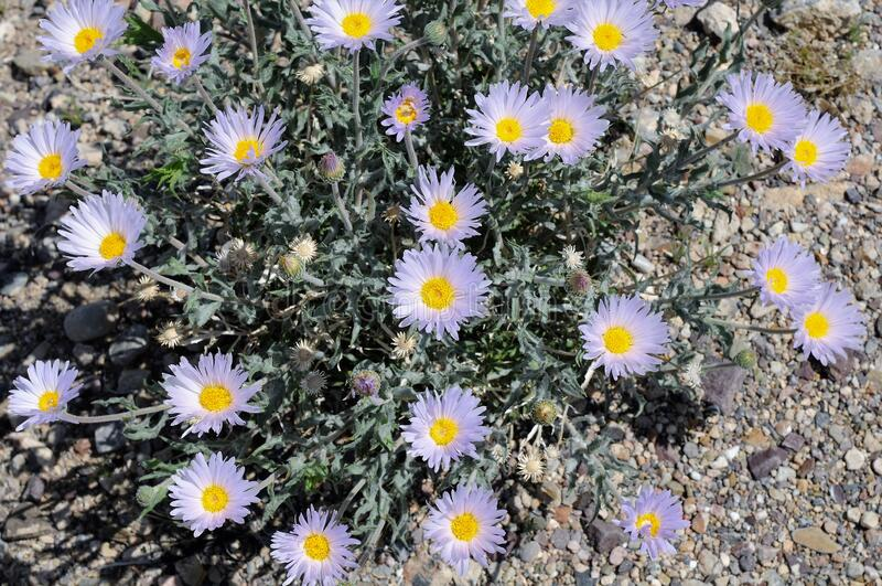 Mojave Aster at Death Valley royalty free stock photo
