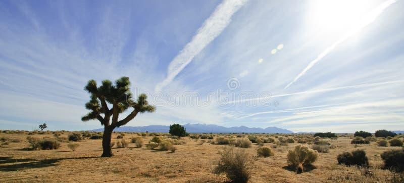 Mojave Desert Joshua Tree. A Joshua tree in the Mojave Desert of Southern California stock photography