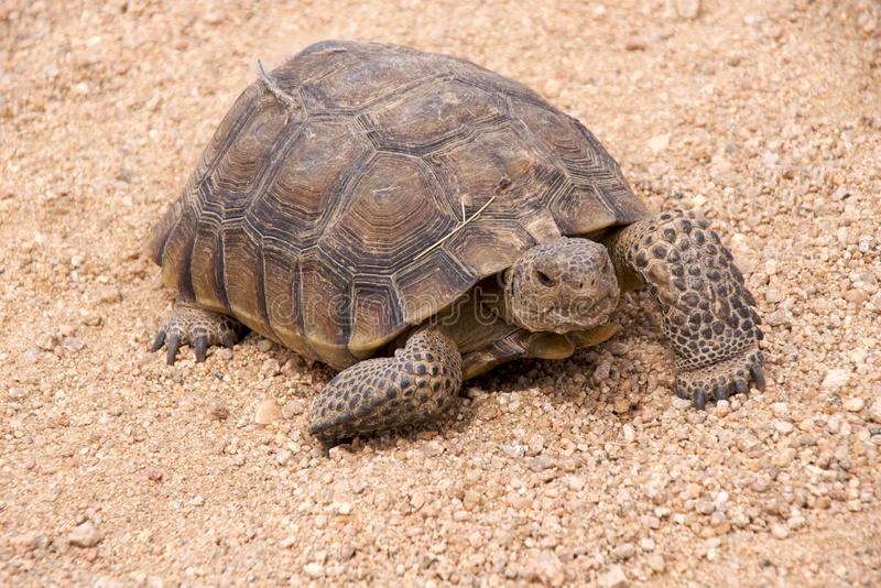 Mojave desert tortoise. (Gopherus Agassizii), now listed as threatened, Mojave National Preserve, California stock photo