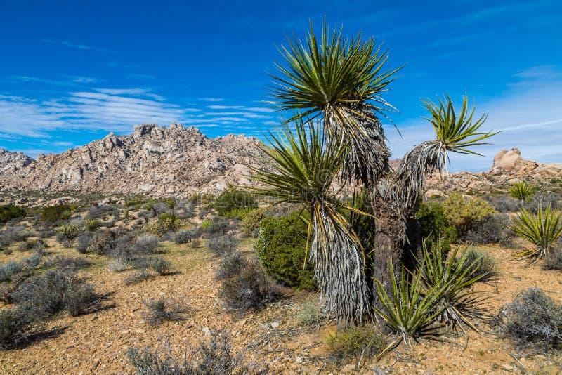 Mojave-Yucca oder spanischer Dolch in der Mojavewüste stockbild