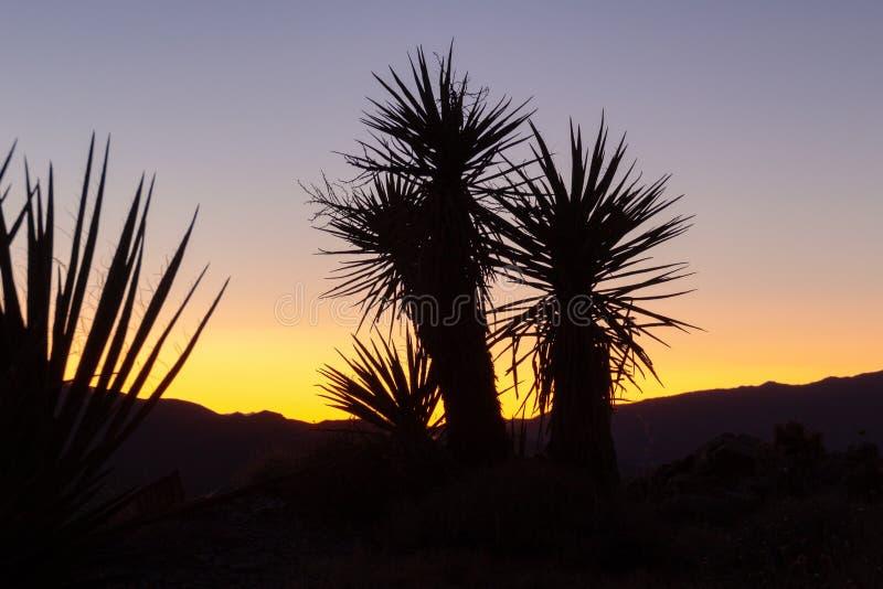 Mojave yucca plant silhuette i öknen med kvällskål efter solnedgången i bakgrunden vid Joshua Tree National Park i Kalifornien royaltyfri bild
