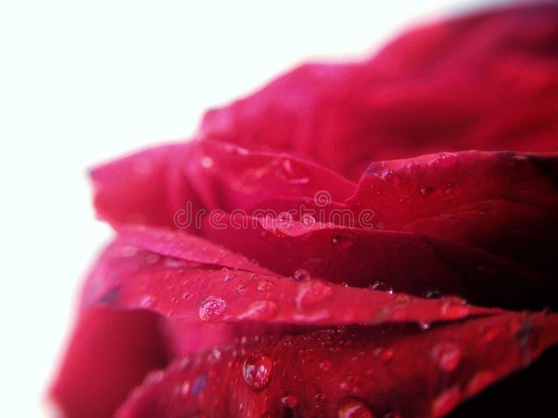 Moje color de rosa foto de archivo