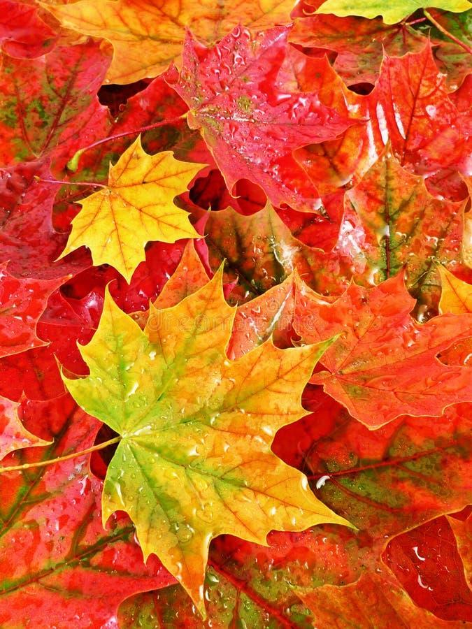 Moje el fondo coloreado de las hojas de arce foto de archivo libre de regalías