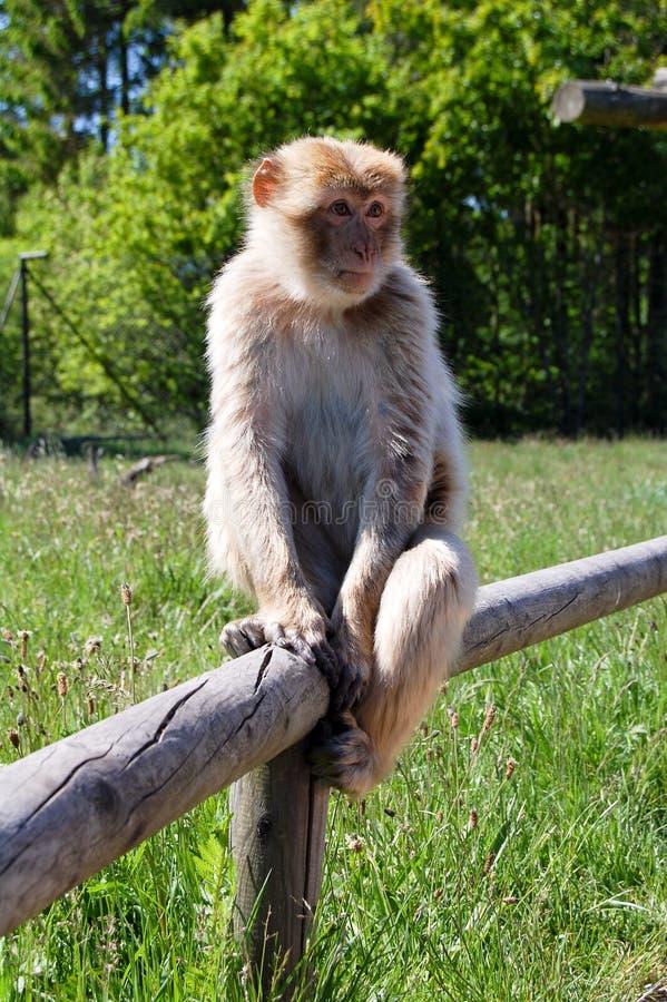 Mokey op hout royalty-vrije stock foto's