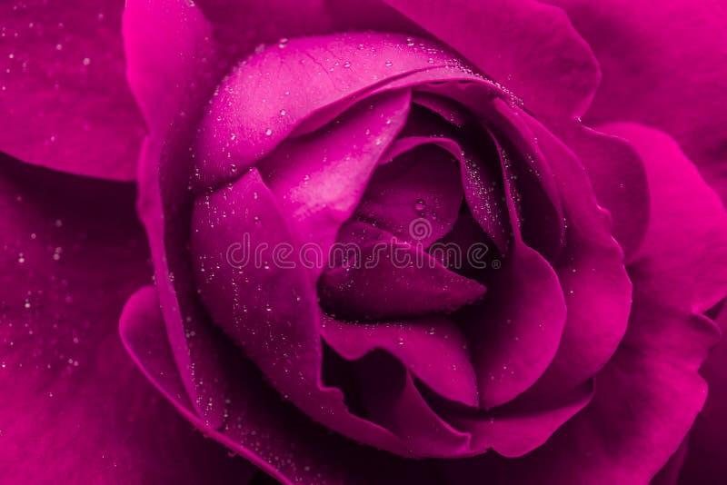 mokra menchii róża zdjęcie royalty free