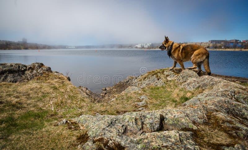 Mokra Niemiecka Pasterskiego psa pozycja Quidi Vidi jeziorem fotografia stock