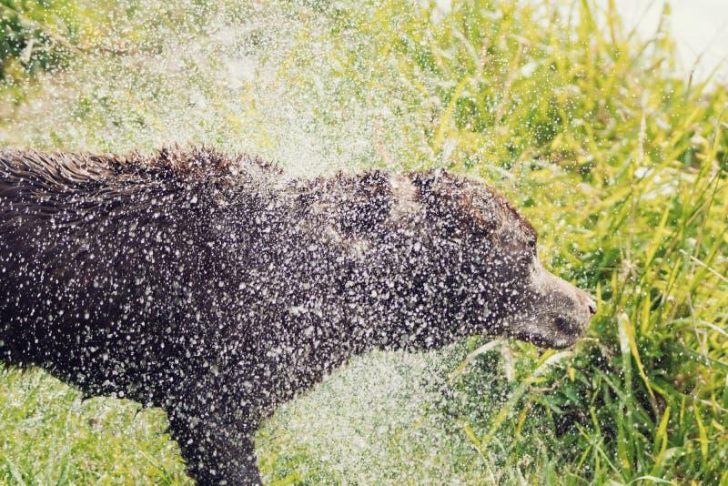 Mokra Psia potrząśnięcie woda Daleko fotografia royalty free