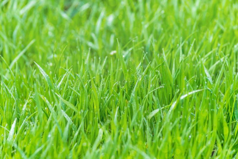 Mokra trawy rosa zamazywał tło luksusowej łąki światła słonecznego bokeh fotografia royalty free