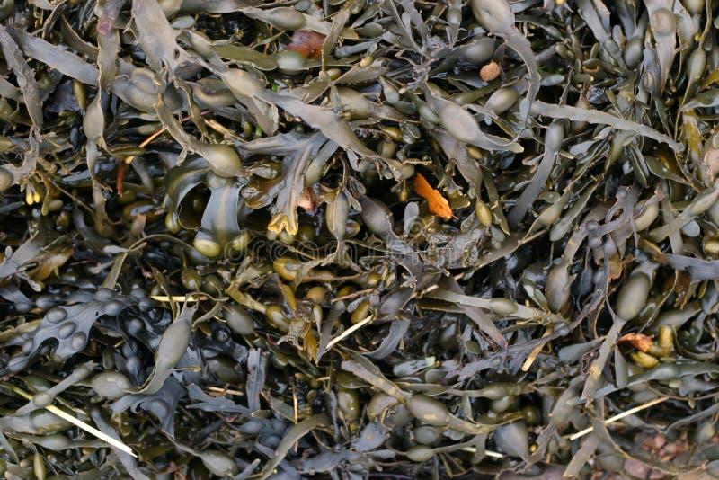Download Mokra wodorosty zdjęcie stock. Obraz złożonej z mokry, morze - 41426