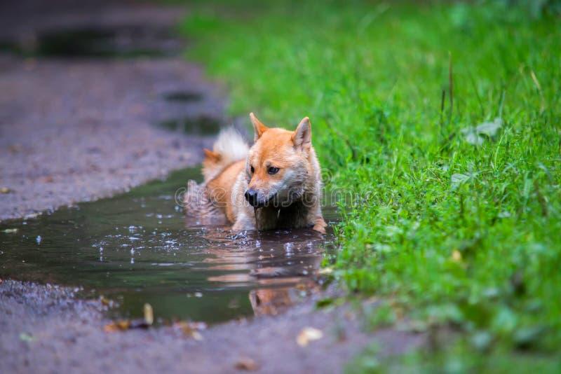 Mokry żeński shiba inu pies w kałuży zdjęcia royalty free