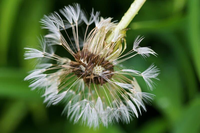 Mokry blowball Dandelion kwiatu głowa z wiele mały fl (zegar) obraz royalty free