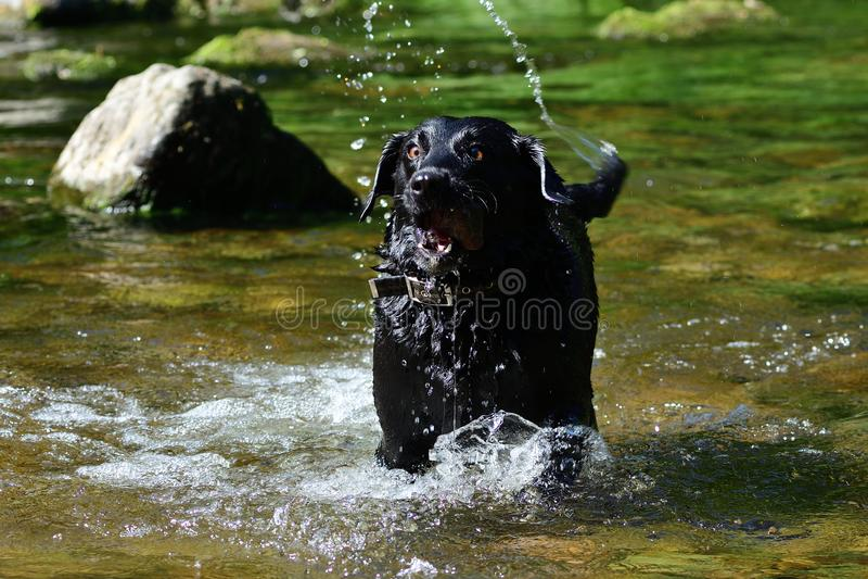 mokry czarny labrador obraz stock