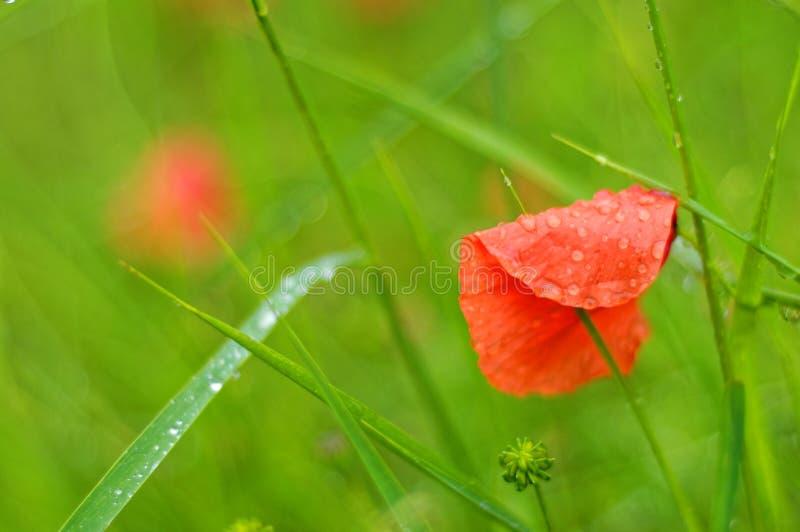Mokry czerwony makowy kwiatu płatek w zielonej trawy kolorowej naturze obrazy royalty free
