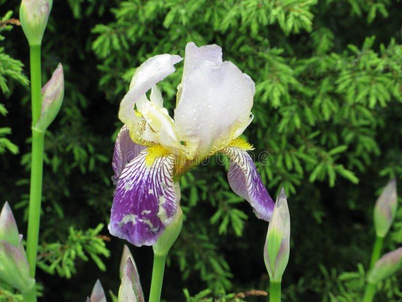 Mokry irise w parku fotografia royalty free