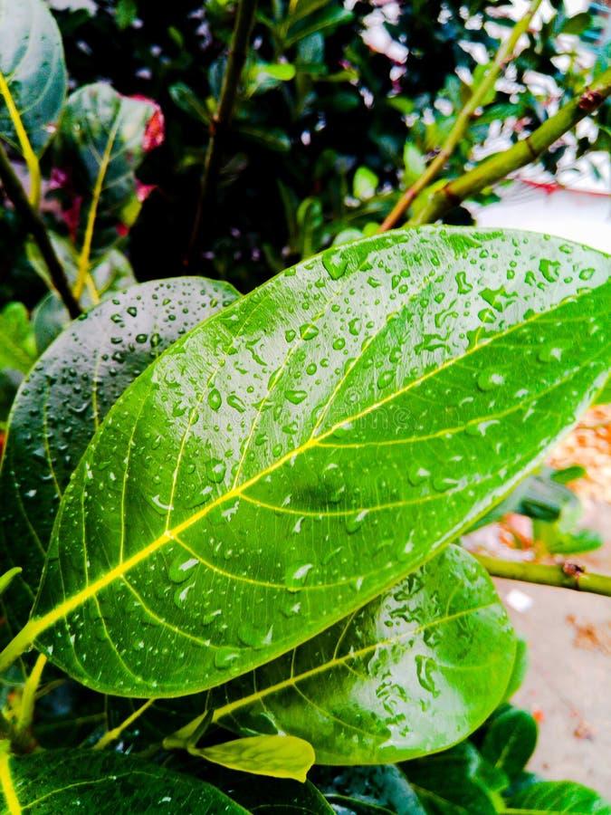 Mokry jackfruit drzew liść obraz stock