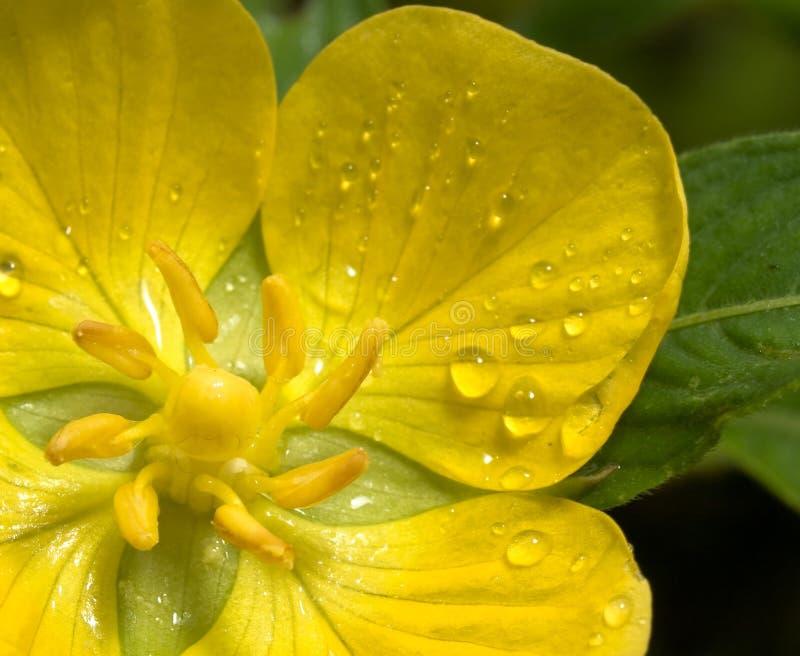 mokry kwiat żółty zdjęcie stock