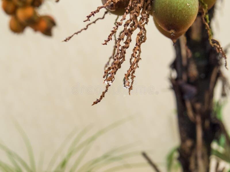 Mokry palmowy trzon z kroplą wodny obwieszenie zdjęcie stock