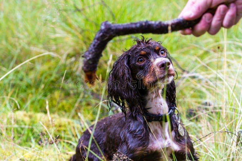 Mokry pies na wyżynach fotografia stock