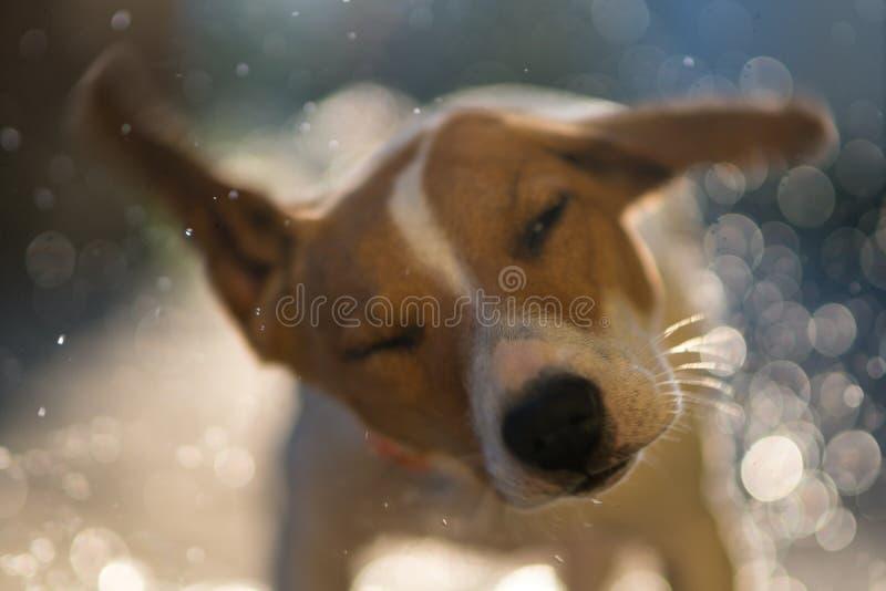Mokry psi dźwigarki Russell terier trząść daleko wodę na zmierzchu półdupkach obrazy royalty free