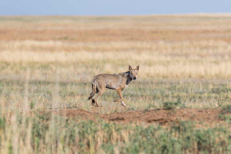 Mokry Szarego wilka Canis lupus biega przez pole obrazy stock
