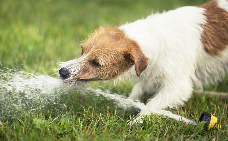 Mokry szczęśliwy zwierzę domowe psa szczeniak bawić się z wodą w gorącym lecie zdjęcie royalty free