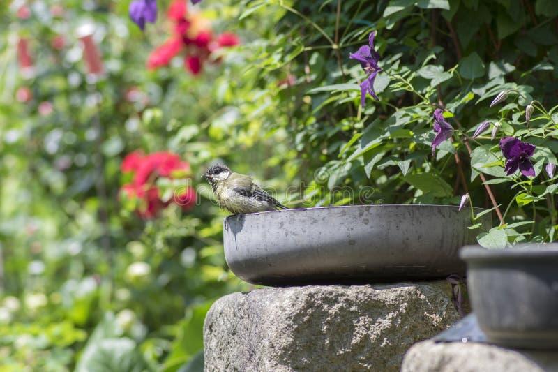Mokry wielki tit po brać skąpanie w starej teflon niecce na ogródzie, śmieszną scenę z kolorową zielenią i purpurowego naturalneg obrazy royalty free