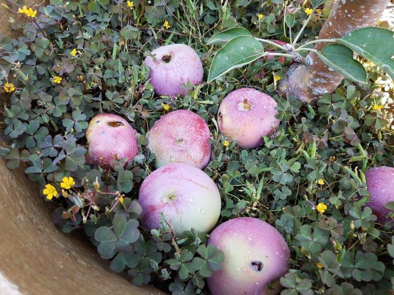 Mokrzy jabłka na ziemi z zielonymi koniczynami fotografia royalty free