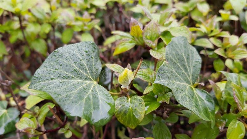 Mokrzy liście wiecznozielona bluszcza pięcia roślina na świeżym zielonym krzaka tle zdjęcia stock