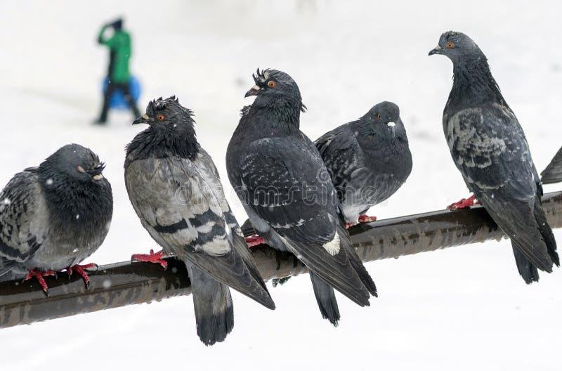 Mokrzy miastowi gołębie siedzą na crossbar podczas opad śniegu na zamazanym tle z odprowadzeń ludźmi zdjęcie stock