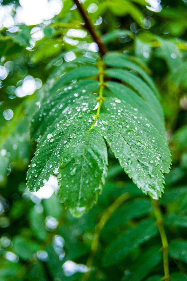 Mokrzy rowan liście z raindrops na one fotografia stock