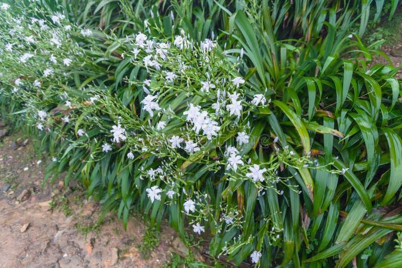 mokrzy zieleni krzaki z białej lelui kwiatami zdjęcie royalty free