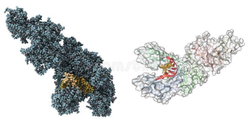 Molécula de la polimerasa de Taq stock de ilustración