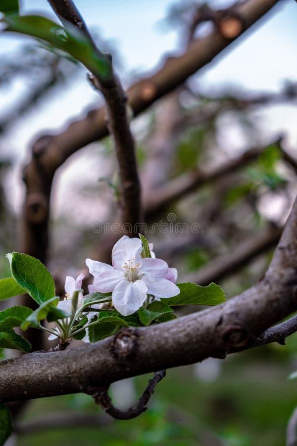 mola adiantada da flor da maçã imagem de stock royalty free