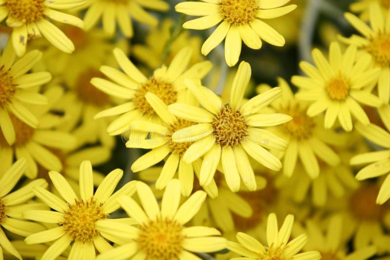 Mola amarela da flor fotos de stock royalty free