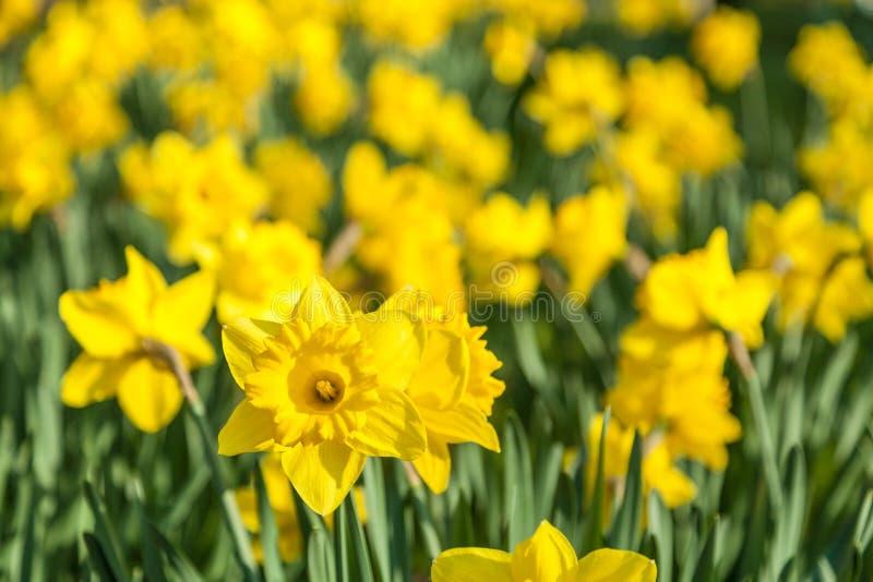 A mola amarela dos narcisos amarelos floresce o prado fotografia de stock royalty free