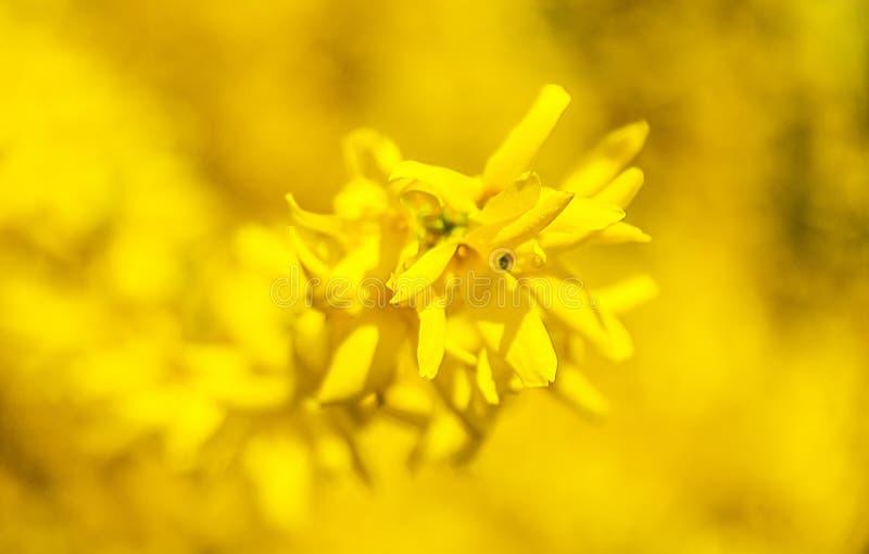 a mola amarela floresce o fundo das árvores imagens de stock