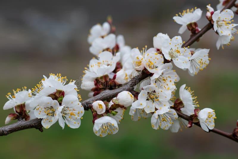 Mola Cherry Blossom Ramo de ?rvore de floresc?ncia na primavera Floresc?ncia da primavera Fundo da flor da mola Fundo floral bea foto de stock