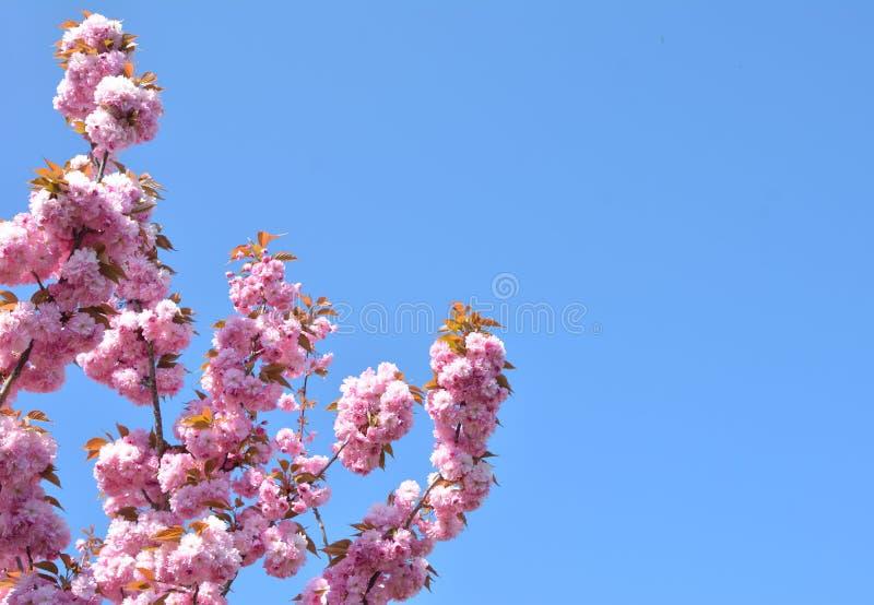 Mola Cherry Blossoms cor-de-rosa imagem de stock royalty free