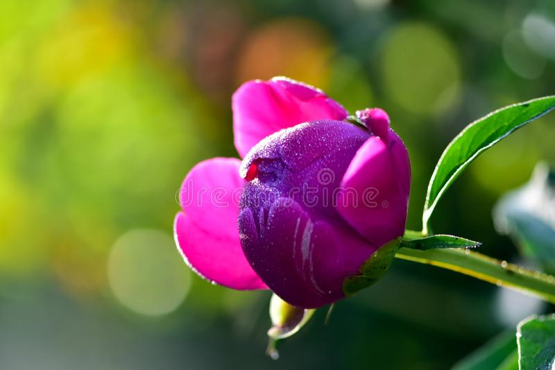 Mola cor-de-rosa da flor da flor da pe?nia em um fundo das hortali?as no jardim na manh? morna e ensolarada imagens de stock