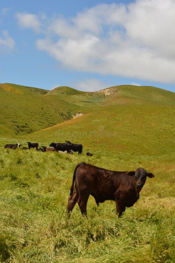 Mola da estrada de Bitterwater cênico - vacas felizes fotos de stock