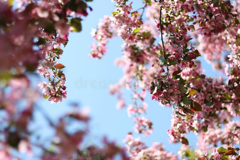 Mola das flores de cerejeira ?rvores de floresc?ncia imagens de stock royalty free