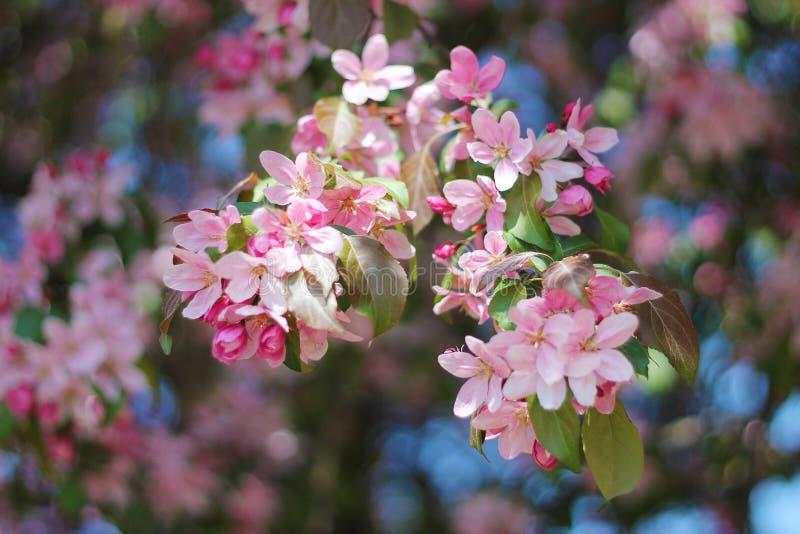 Mola das flores de cerejeira ?rvores de floresc?ncia fotografia de stock